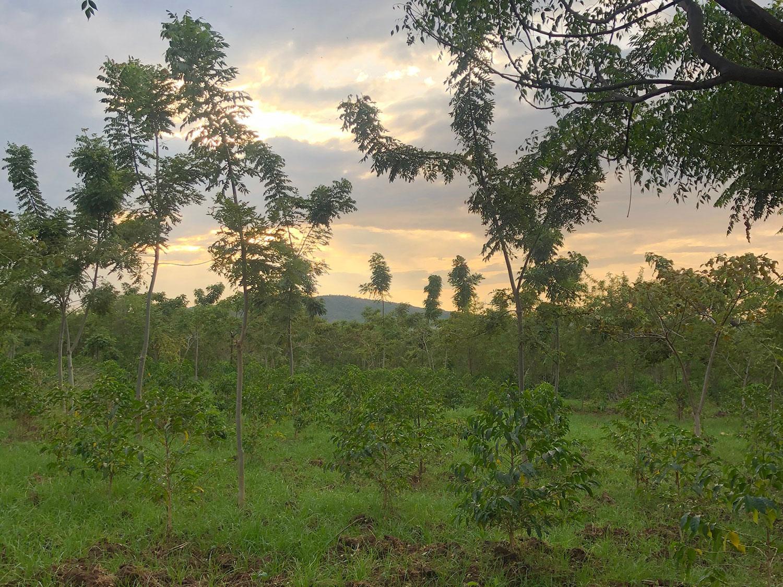 Ethiopia(エチオピア)/Idido Tulise Natural(イディド・トゥリセ・ナチュラル)