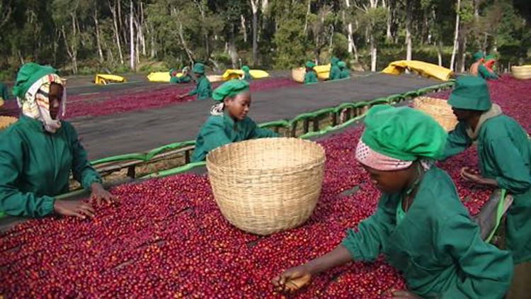 Ethiopia(エチオピア)/Benti Nenqa Sun Dried(ベンティ・ネンカ・サンドライ )