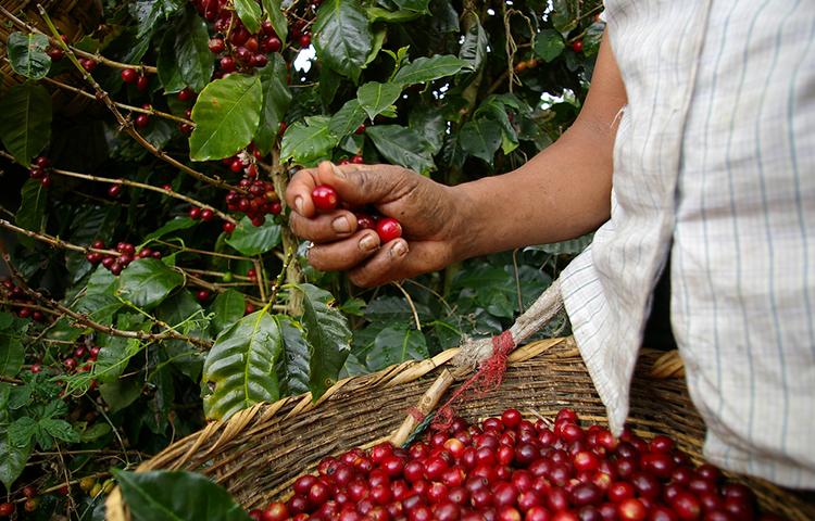 コーヒーチェリーの収穫
