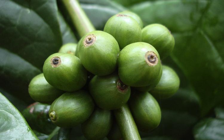 コーヒー豆 ロブスタ種