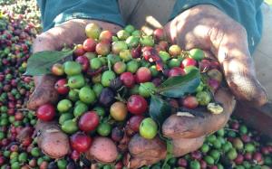 コーヒー経済学 生豆がお店に届くまで