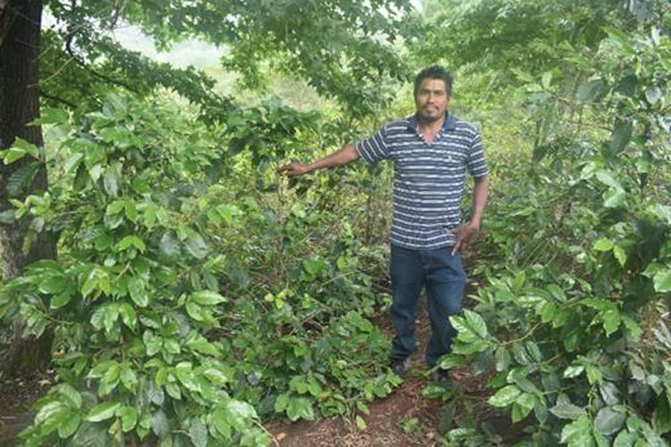 Honduras/Liquidambal(ホンジュラス/リキダンバル)